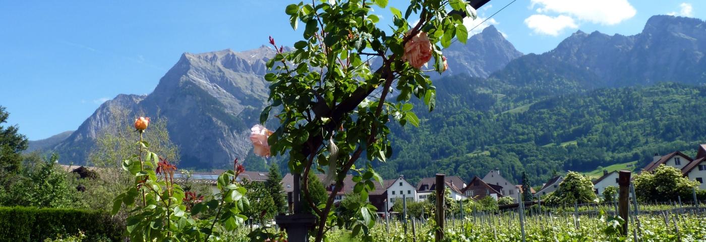 Jenins Landschaft mit Rosen und Reben