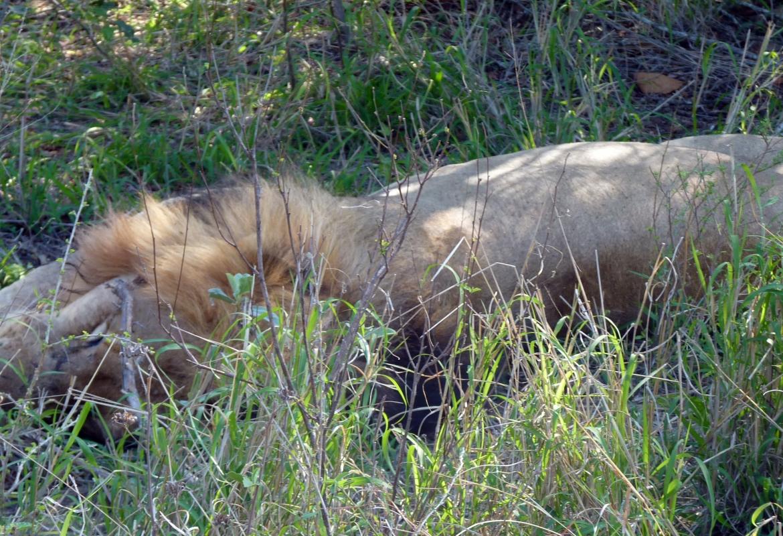 Der  Löwe schläft