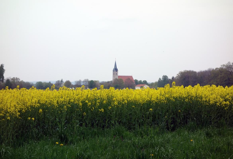 Über dem leuchtend gelben Rapsfeld erhebt sich die Kirche von Burgkirchen am Wald.
