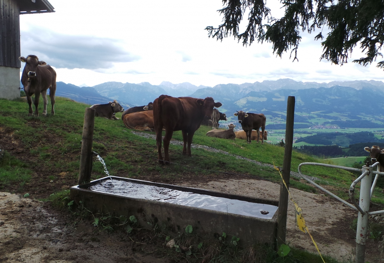 Das Allgäuer Braunvieh wird heute wieder geschätzt.