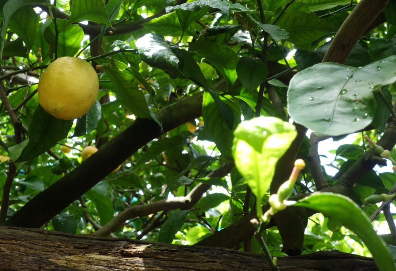 Der Zitronenbaum macht's möglich: Jugend und Reife gleichzeitig.