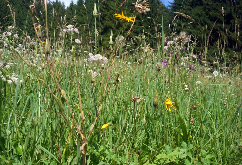 So eine Bergwiese ist nicht nur schön, sondern auch reich an gesunden Pflanzen.