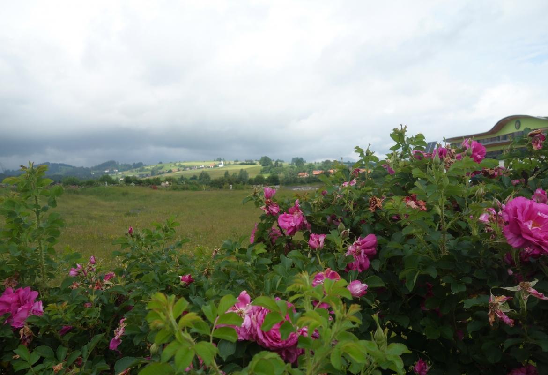 Rosendüfte umschmeicheln die Besucher im Garten von Primavera-Naturkosmetik in Oy-Mittelberg.  Auch das gibt's im Allgäu.