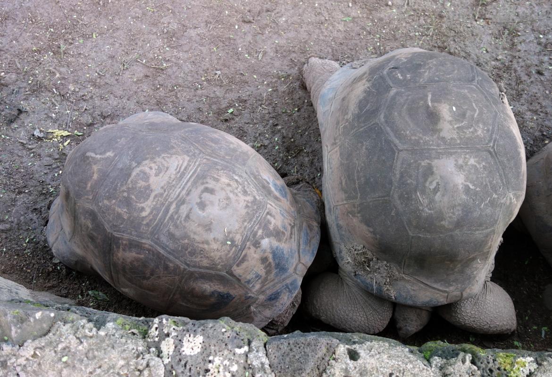 Die Riesenschildkröten lassen sich auch nicht von den Fotografen beeindrucken.